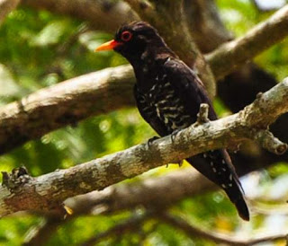 Photo of Violet cuckoo - Chrysococcyx xanthorhynchus