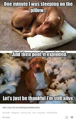 dog chewed pillow dog meme