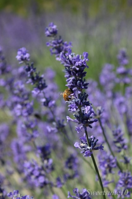 Lavender flowers attract a bee