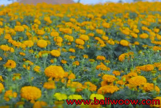 Marigold Flower Fields Attractions of Bali.