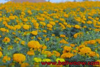 Marigold Flower Fields Attractions of Bali.