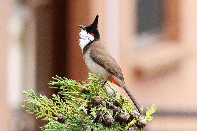 Chữa bệnh trúng gió cho chim chào mào