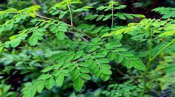 Picture of a  Moringa tree