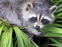 http://www.public-domain-image.com/free-images/fauna-animals/raccoons/raccoon-procyon-lotor