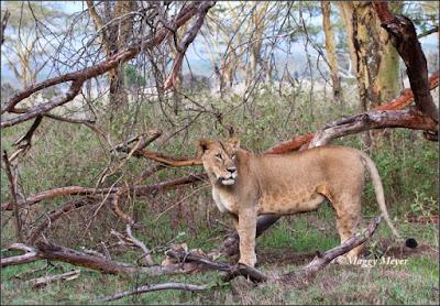 Leona en su hábitat