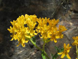 Asclepias tuberosa, Butterfly Milkweed