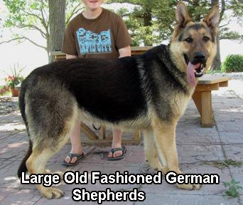 Large Old Fashioned German Shepherds