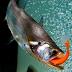 """Ikan Payara """"Si Vampir Ikan Air Tawar"""""""