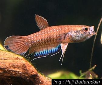 Jenis Ikan Cupang Spesies Betta Falx