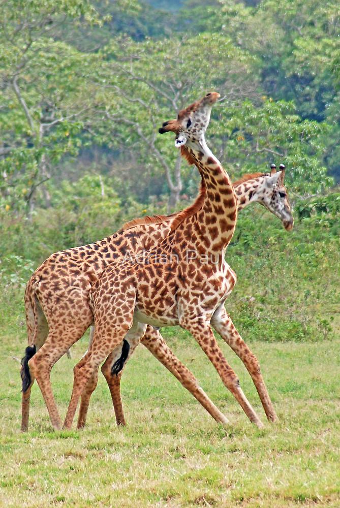 Arusha Giraffes