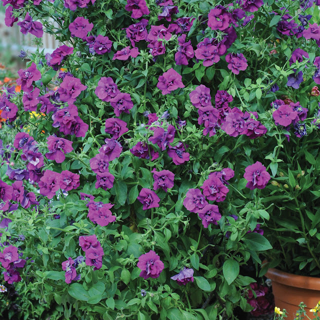 HÍBRIDO PETUNIA PURPLE ROCKET