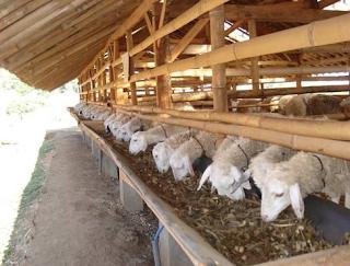 Kandang Yang Tepat Untuk Ternak Domba