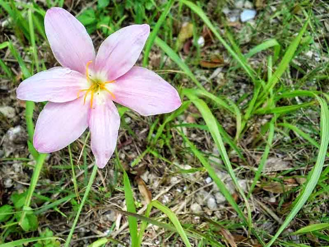 flower, pink lily