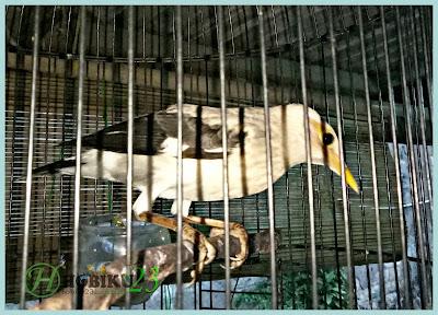 Burung Jalak Putih merupakan burung yang anggun sebab mempunyai warna bulu yang putih bers Cara Merawat Jalak Putih Agar Cepat Gacor