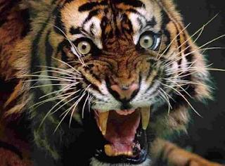 Um Fato Sobre Os Tigres: Eles apreciam a carne humana e devoram muita gente !  Não é apenas uma questão de atacar pessoas, isso qualquer animal pode fazer. A questão é que nos ataques de tigres, eles não apenas matam, como também devoram as vítimas humanas que estiverem ao alcance de suas garras.