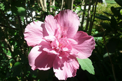 "Hibiscus syriacus ""Lavender Chiffon"" Rose of Sharon by garden muses: a Toronto gardening  blog"
