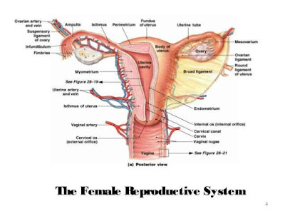 Woman Reproductive system