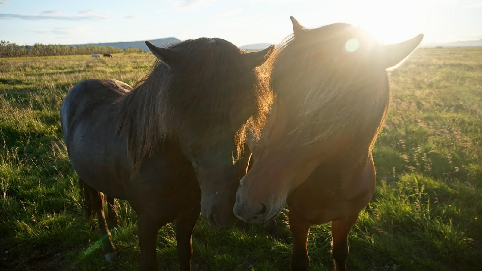 islandzkie kuce, islandzkie konie, konie na Islandii