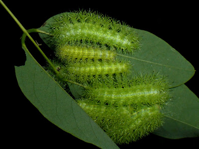 Automeris occidentalis caterpillar