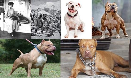 Dünyanın En Tehlikeli Köpeği Pitbull Hakkında 10 Bilgi