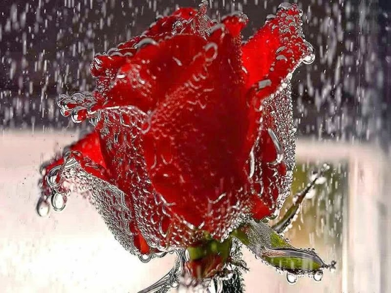 Send a Red Rose Pictures to girlfriends on New Year 2017