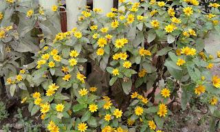 Bunga matahari kecil centil