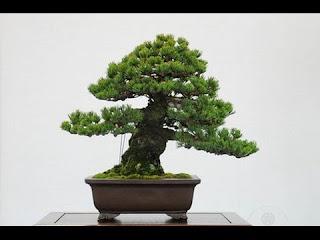 indoor conifer bonsai, juniper bonsai care, juniper bonsai indoor, pruning juniper bonsai, types of juniper bonsai, can juniper bonsai be kept indoors, spruce bonsai for sale, chinese juniper bonsai