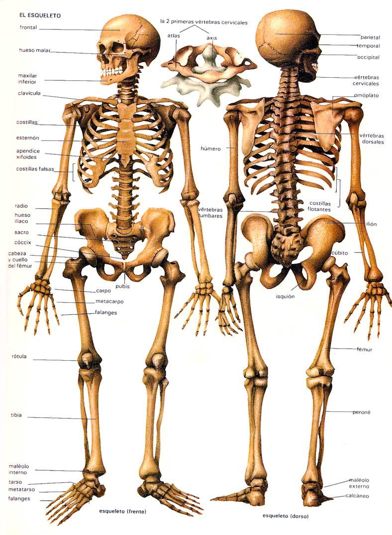 Imagenes De El Esqueleto Humano