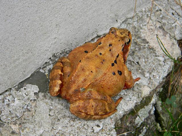 żaba trawna jest płazem chronionym