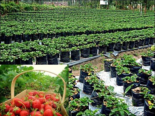 Agrowisata Probolinggo