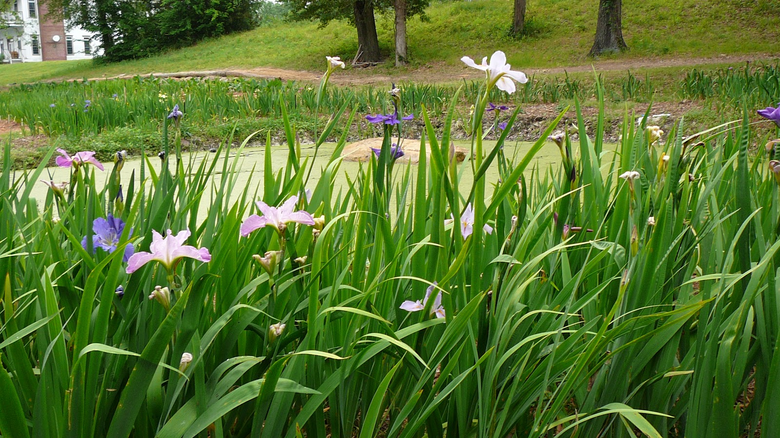 World of irises what are louisiana irises and can i grow for Pond flowers