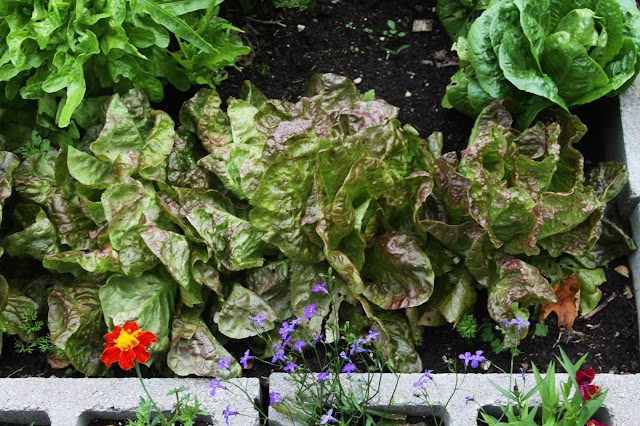 garden, lettuce, spring, Anne Butera, My Giant Strawberry