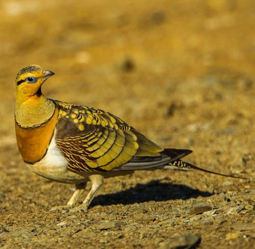 Indian birds - Picture of Pin-tailed sandgrouse - Pterocles alchata