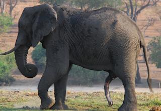 hewan terpintar dan tercerdas di dunia - gajah
