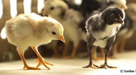 DOC Bibit ayam kampung unggulan - Bisnis ternak ayam kampung