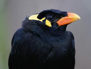 Jenis Burung Beo Dan Wilayah Penyebarannya