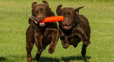 Labrador dog