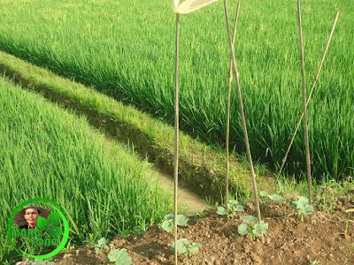 Pemasangan lanjaran/tuturus untuk rambatan tanaman mentimun.