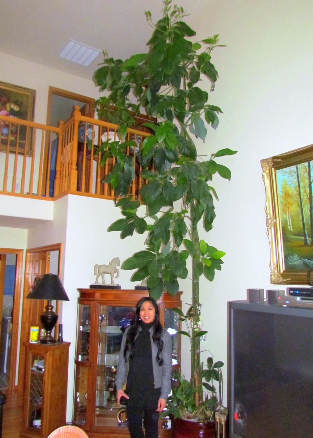 Giant indoor plants avocado tree and bird of paradise