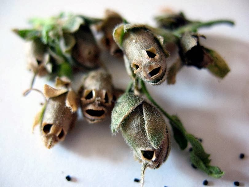 The Antirrhinum¸ Dragon's Skull ─ The Execrable Complexion of Snapdragon Seed Pods