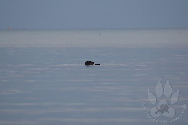Suede-Scanie-Falsterbo-plage-phoque-veau-marin