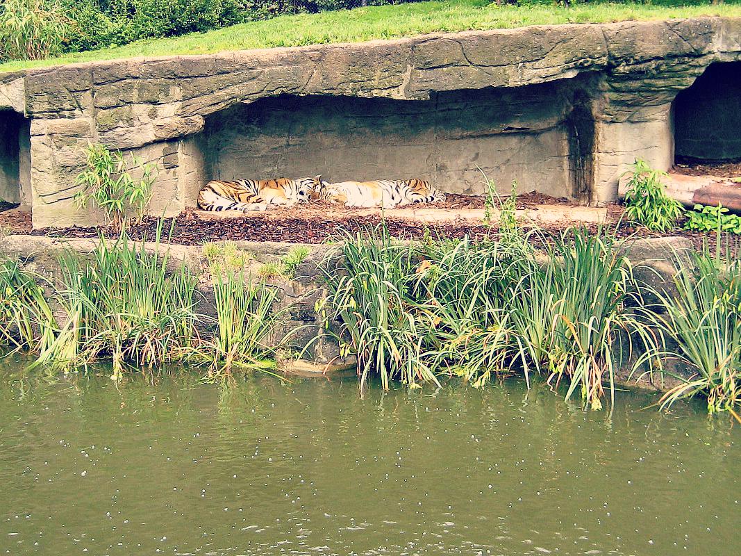 wybieg tygrysów