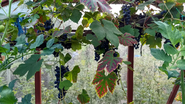 Black grapes in a greenhouse