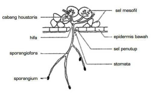 Struktur Tubuh Chytridiomycota