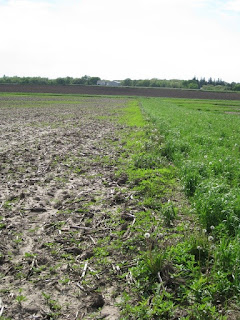 Fenceline Giant Ragweed