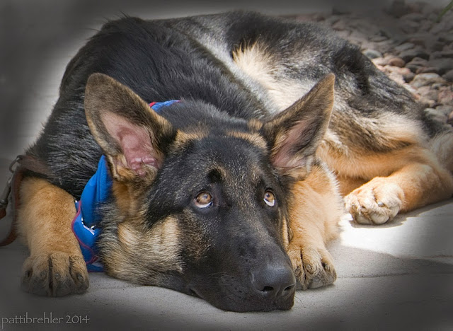 A young german shepherd is lying on cement with his chin between his front paws. He is facing the camera, but looking up to the right.