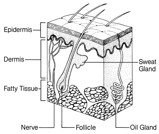 stomach label diagram of layers
