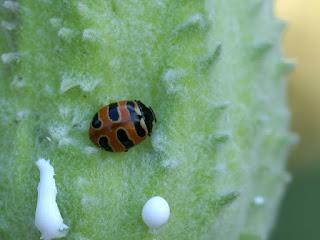 Coccinelle à trois bandes - Coccinella trifasciata - Three-banded lady beetle - Coccinelle trifasciée