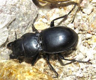 Pasimachus sp., Carabidae