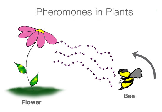 Pheromones in plants